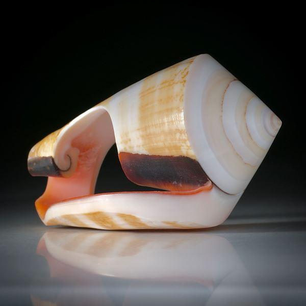 Muschelring Strawberry Conch, Spitze geschliffen und poliert, teilweise naturbelassen