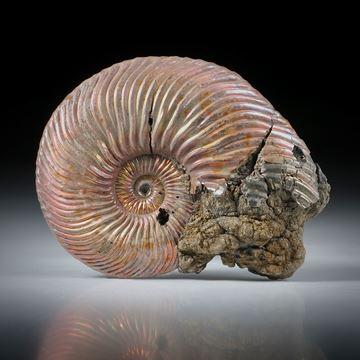pyritisierter Ammonit, Wolga Russland, einseitig plangeschliffen und poliert, ca.47x37x8mm