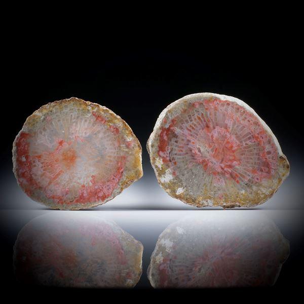 Fossile rote Hornkoralle (Utah) 58ct. Querschnitt Paar poliert, Aussenseite naturbelassen, je ca.34x18x3mm